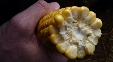 Top Maize Varieties Available from Hubbards Seeds
