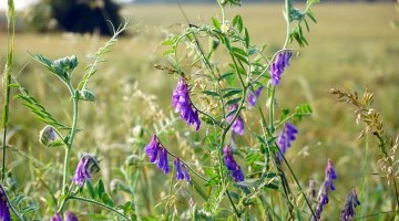 Cover Crops  2021