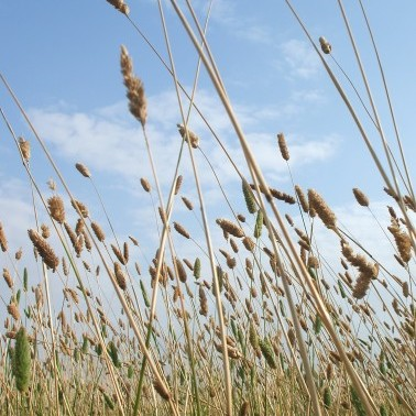 Canary Grass photo