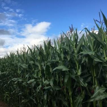 Maize on photo
