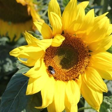 Sunflower Sunspot photo